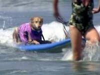 Cateii-surferi! Infrunta valurile vitejeste, cu botul si urechile in vant!