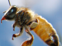 Experiment dureros de dragul stiintei. Barbatul care s-a lasat intepat de albine in penis a descris experienta traita