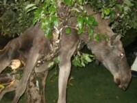 Un elan beat turta a ramas blocat intr-un copac. VIDEO