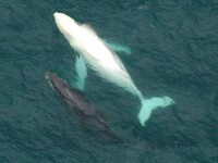 E real, dar apare mai rar decat monstrul din Loch Ness. Ieri a fost vazut pentru prima data in 2011
