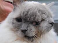 VIDEO. Ea este pisicuta cu doua capete. Desi nimeni nu credea ca va trai, tocmai a implinit 12 ani
