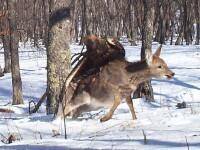 Natura in forma bruta. Cum a incercat un vultur sa zboare cu o caprioara in gheare. FOTO