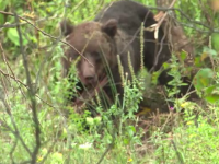 Urs de 150 de kilograme prins in sarmele unui gard. Localnicii au chemat vanatorii. Cum s-a incheiat toata povestea