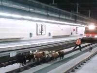 Circulatia la metrou, intr-un oras spaniol, data peste cap de o turma de capre. Cum au ajuns animalele pe sine
