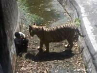 Un tanar din India a fost ucis de un tigru de la o gradina zoologica, dupa ce a patruns pe teritoriul animalului. FOTO SOCANT