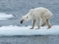 Cel mai trist urs polar din lume? Imaginea sfasietoare care a emotionat mii de oameni