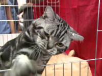 Pisici care costa mii de euro, prezentate la Bucuresti. Unde are loc expozitia la care a fost adusa si