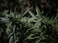 Presedintele Erdogan tolereaza marijuana. Turcia legalizeaza productia de canabis in 19 provincii