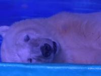 Pizza, cel mai trist urs polar din lume, va fi mutat de la zoo intr-un parc natural. Autoritatile au pus, insa, o conditie