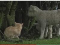 Cum arata motanul care s-a atasat atat de tare de cativa miei incat a ajuns sa se comporte ca ei. VIDEO