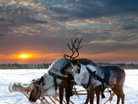 250.000 de reni ar putea fi ucisi in Siberia. Autoritatile vor sa previna raspandirea bolii