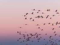 Stol de păsări flamingo, în Ialomiţa. De ce nu sunt roz