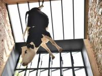 Gest șocant. De ce atârnă de tavan o vacă într-o pizzerie din Australia