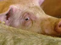 Numărul de focare de pestă porcină continuă să crească, deși au fost uciși 343.000 de porci