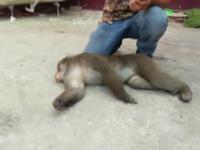 Maimuța care a făcut circ în Capitală, prinsă după câteva ore. Lua bananele și fugea