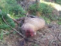 Cerb uriaş, găsit decapitat într-o pădure din Suceava. Ce suspectează poliţia