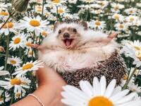Un arici are aproape 2 milioane de urmăritori pe contul de Instagram. Ce este inedit la el