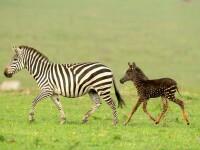 """Imagini unice cu un pui de zebră """"mutant"""". Cum au fost surprins"""