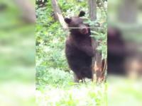 Bărbat ucis de un urs în județul Bacău. Cum s-a salvat nepotul său