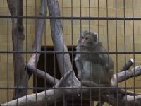 Unde au ajuns maimuțele confiscate din menajeria ilegală a lui Nuțu Cămătaru