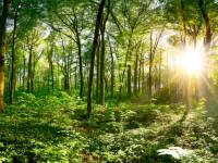 Un nou arbore din Europa, în pericol de dispariție