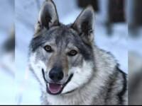 Mobilizare exemplară pentru recuperarea Dorei, câinele lup pierdut pe Transfăgărășan de o familie de cehi