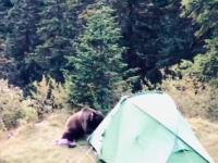 VIDEO. O ursoaică aflată în căutare de hrană a distrus un cort campat în Munţii Bucegi