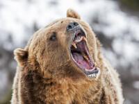 Un urs, împușcat, după ce a fost prins în timp ce mânca rămășițe umane. Ce au descoperit autoritățile
