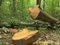 Dezastru ecologic în pădurea Scroviștea. Cum sunt tăiați copacii din aria protejată