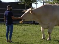 Cel mai mare şi mai scump bou din lume trăiește în Spania. Cântărește două tone și are aproape doi metri înălțime