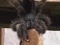 """Momentul terifiant în care un păianjen uriaș """"înghite"""" o pasăre. VIDEO"""