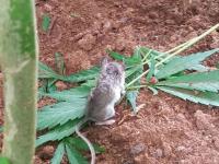 Un șoarece, surprins zile în șir în timp ce mânca frunze de canabis. Ce s-a întâmplat cu el. FOTO