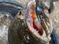 Un bărbat care pescuia a prins un pește cu gura plină de colți. Cum a ajuns acolo. VIDEO