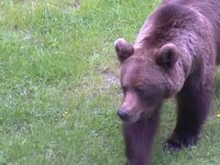 Trei bărbați din Vrancea au fost atacați de un urs. Animalul a fost ucis