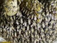 Stup de albine uriaș, descoperit în bucătăria unui restaurant. Motivul pentru care nu vor fi înlăturate. GALERIE FOTO