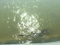 Repopularea Dunării cu sturioni a fost un succes. Unde a fost prins nisetru aruncat în fluviu în 2015