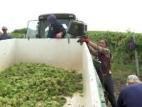 Un an bun pentru vinul românesc. Podgoriile din România se bucură de o recoltă foarte bună de struguri