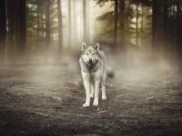 Spania a interzis vânătoarea de lupi. Oamenii nu acceptă decizia: Acolo, jos. Au mâncat tot