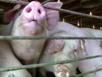 """Carnea de porc se scumpește din cauza tarifelor mărite din energie și a pestei porcine: """"Zi de zi apar noi focare"""""""