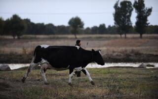 vaca asia