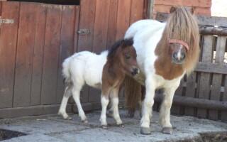 ponei, Zoo Timisoara