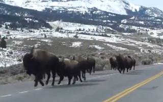 Bizoni in Yellowstone