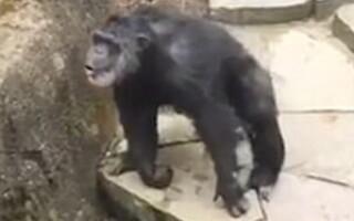 Cimpanzeul care arunca cu excremente intr-o vizitatoare