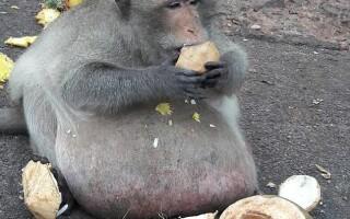 maimuta