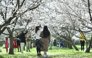 Mai multe persoane se plimbă printre copacii înfloriți din Grădina Japoneză din parcul Herăstrău din Capitală
