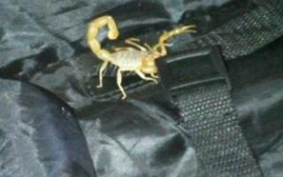Scorpionul galben