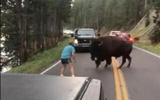Yellowstone, bizon, barbat, sua,