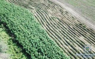 Plantaţie de canabis, pe o insulă din Delta Dunării.