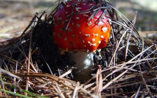Amanita muscaria, buretele mustelor