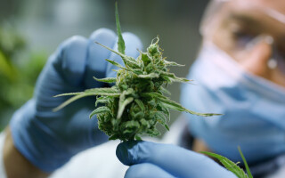 ONU recunoaşte oficial proprietăţile medicinale ale canabisului